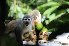 连斗帽女大衣胡闹吃香蕉,似亚马逊雨林,厄瓜多尔 图库摄影