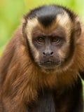 连斗帽女大衣被簇生的查找猴子 库存照片