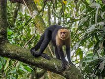 连斗帽女大衣面对猴子白色 图库摄影