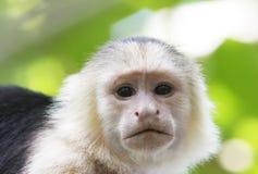 连斗帽女大衣面对猴子白色 免版税图库摄影
