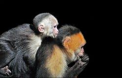 连斗帽女大衣面对空白的猴子 免版税库存照片