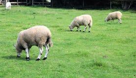 连续吃草在领域的三只绵羊 库存照片