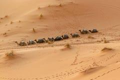 连续坐在沙漠的骆驼 库存照片