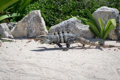 连续墨西哥人多刺被盯梢的鬣鳞蜥 库存图片