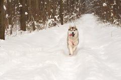 连续多壳的狼狗在冬天森林里室外在雪 免版税库存照片