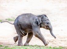 连续大象小牛 库存图片