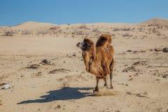 连续家养的棕色bactrian双峰的骆驼在哈萨克斯坦沙漠  免版税库存照片