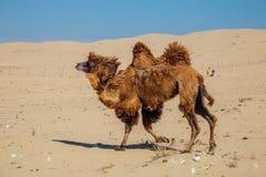 连续家养的棕色bactrian双峰的骆驼在哈萨克斯坦沙漠  图库摄影