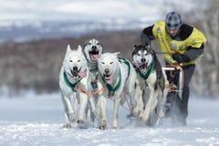 连续拉雪橇狗队堪察加musher Sitnikov Alexey 堪察加拉雪橇狗赛跑Beringia 免版税库存图片