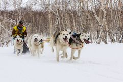 连续拉雪橇狗队 堪察加拉雪橇狗赛跑Beringia,俄语 库存图片