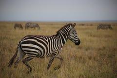 连续斑马在塞伦盖蒂全国保留区域 免版税库存图片