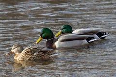 连续游泳三只野鸭的鸭子 免版税图库摄影