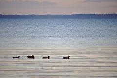 连续游泳在与天际的清早光的五只鸭子在背景中 库存照片