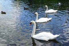 连续游泳在湖的三只白色天鹅 免版税图库摄影