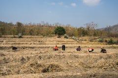 连续的高温和天旱影响的米领域罕见,作物歉收的在嘉莱,越南的高原中心 免版税库存图片