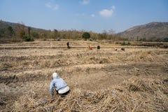连续的高温和天旱影响的米领域罕见,作物歉收的在嘉莱,越南的高原中心 免版税图库摄影