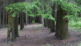连续被种植的杉树 股票录像