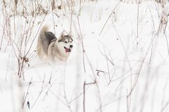 连续西伯利亚爱斯基摩人狗在雪的冬天森林里 库存图片