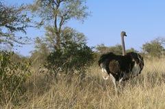 连续驼鸟在非洲 免版税库存照片