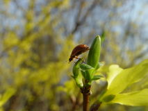连翘属植物与蜂的灌木花 免版税库存图片