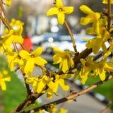 连翘属植物在春天的树花 免版税库存照片