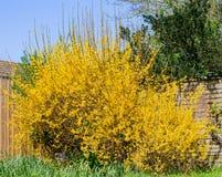 连翘属植物布什在春天 免版税图库摄影