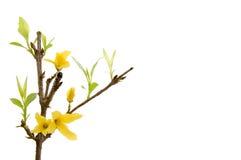 连翘属植物或北太阳 免版税图库摄影