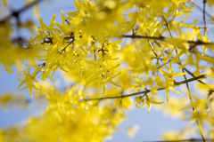 连翘属植物明亮,黄色花在春天 库存图片