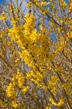 连翘属植物春天 免版税图库摄影