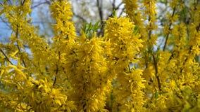 连翘属植物灌木开了花黄色花 晴朗的春日,灌木开始开花黄色花 美丽的灌木
