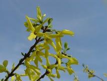 连翘属植物灌木花 免版税库存照片