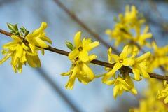 连翘属植物,与黄色花的美丽的春天灌木 免版税库存照片