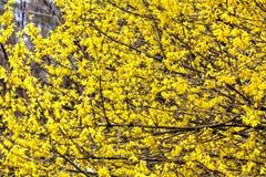连翘属植物 黄色花 库存照片