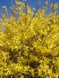 连翘属植物黄色 免版税库存图片