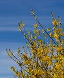 连翘属植物细节-明亮的黄色春天开花在蓝色条纹 免版税库存图片