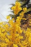连翘属植物 免版税库存图片