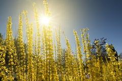 连翘属植物 免版税图库摄影