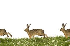连续兔宝宝 免版税库存照片