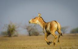 连续印地安野驴 免版税库存图片