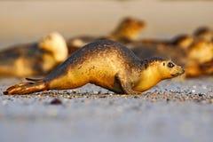 连续封印 在白色沙子海滩的封印 动物运行中 哺乳动物的行动场面 大西洋灰色封印, Halichoerus grypus,细节portra 库存图片