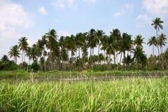 连续生长在一个绿色领域的几棵棕榈树 库存照片