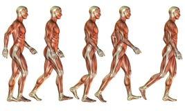 连续男性肌肉研究 向量例证