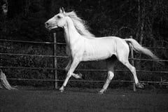 连续白色奥尔洛夫小跑步马 库存图片