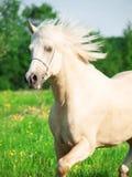 连续巴洛米诺马威尔士小马画象在开花领域的 免版税库存照片