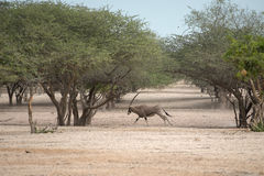 连续羚羊属 免版税库存图片