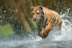 连续老虎水 危险动物, tajga在俄罗斯 在森林小河的动物 灰色石头,河小滴 与飞溅的老虎 免版税图库摄影