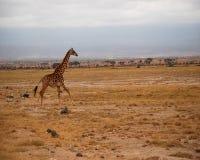连续长颈鹿 免版税库存图片