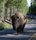延迟交通的一个巨大的北美野牛 免版税库存图片