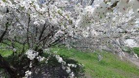迟来的 春天 在白色花服的樱桃 股票视频