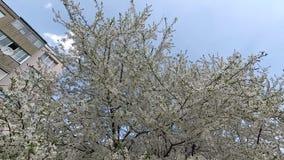 迟来的 春天 在白色花服的樱桃 股票录像